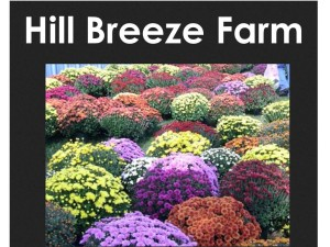 Maddison Hill Breeze Farms Mums